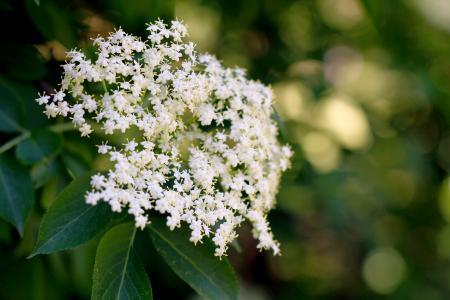 9 úžasných účinků květu černého bezu